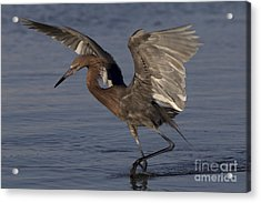 Reddish Egret Fishing Acrylic Print by Meg Rousher