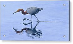 Reddish Egret Acrylic Print by Kirsten Wahlquist