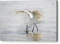 Reddish Egret White Morph Fishing. Acrylic Print