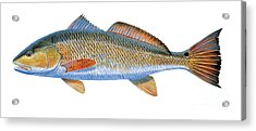 Redfish Acrylic Print by Carey Chen