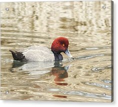 Redhead Duck In Golden Pond Acrylic Print