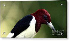 Redheaded Woodpecker At Dusk Acrylic Print by Cris Hayes