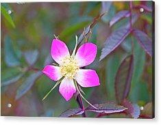 Redleaf Rose (rosa Glauca) Acrylic Print by Dan Sams