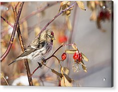 Redpoll In The Rose Bush Acrylic Print by Tim Grams