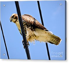 Redtailed Hawk Acrylic Print