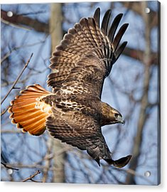 Redtail Hawk Square Acrylic Print by Bill Wakeley