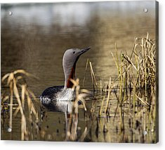 Redthroated Loon Acrylic Print by Doug Lloyd