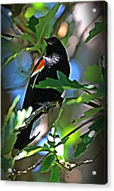 Redwing Blackbird On Alert Acrylic Print