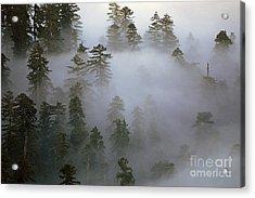 Redwood Creek Overlook With Giant Redwoods  Acrylic Print