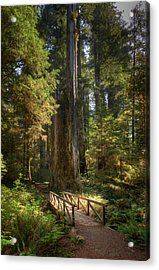 Redwood Forest On A Perfect Spring Day Acrylic Print