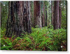 Redwood Sentinels Acrylic Print by Mike  Walker
