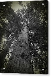 Redwood Tree Acrylic Print