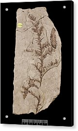 Redwood Tree (sequoia Affinis) Fossil Acrylic Print