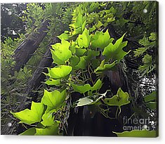 Redwood Trees And Ivy  Leaves Acrylic Print by Wernher Krutein