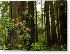 Redwood Trees And Rhododendron Flowers Acrylic Print