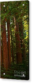 Redwood Wall Mural Panel Three Acrylic Print by Artist and Photographer Laura Wrede