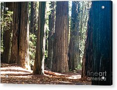 Redwoods 2.2843 Acrylic Print by Stephen Parker