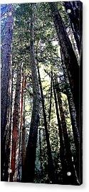 Redwoods Acrylic Print by Greg Thiemeyer