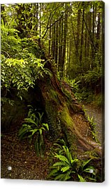 Acrylic Print featuring the photograph Redwoods by Janis Knight