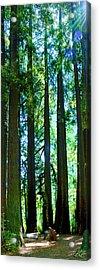 Redwoods Acrylic Print
