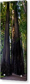 Redwoods Vertical Panorama Acrylic Print