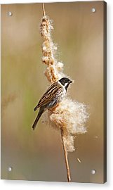 Acrylic Print featuring the photograph Reed Bunting On Reed Mace. by Paul Scoullar