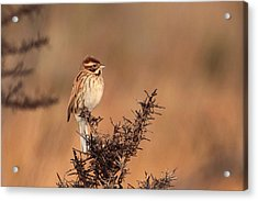 Reed Bunting Acrylic Print by Peter Skelton