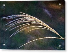Reed Grass Acrylic Print by Ludwig Keck
