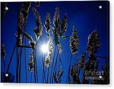 Reed Acrylic Print by Jan Wolf