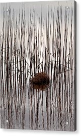 Reed Reflection Acrylic Print by T C Brown