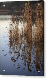Reed Reflections Acrylic Print by Shirley Mitchell