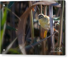 Reed Warbler Acrylic Print