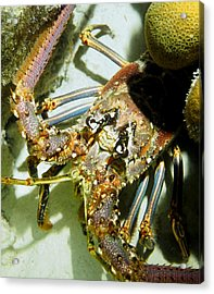 Acrylic Print featuring the photograph Reef Lobster Close Up Spotlight by Amy McDaniel