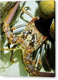 Reef Lobster Close Up Spotlight Acrylic Print by Amy McDaniel