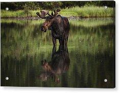 Reflecting Bull Acrylic Print
