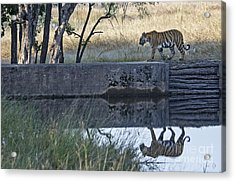 Reflection Of A Tiger Acrylic Print by Pravine Chester