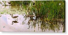 Reflection Of Cranes On Water, Boynton Acrylic Print