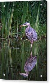 Reflections - Great Blue Heron  Acrylic Print by Doug Underwood