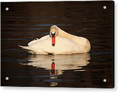 Reflections Of A Swan Acrylic Print by Karol Livote