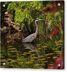 Reflective Great Blue Heron Acrylic Print by Jordan Blackstone