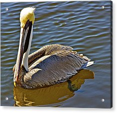 Reflective Pelican Acrylic Print by Alice Mainville