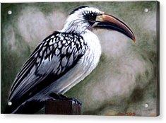 Regal Hornbill Acrylic Print