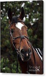 Regal Horse Acrylic Print