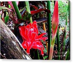 Regular Ginger Flower Acrylic Print by Tina M Wenger