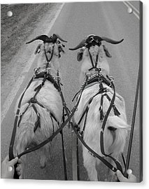 Reins In Hand Acrylic Print