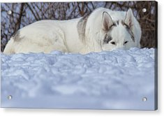 Relaxing In The Snow Acrylic Print