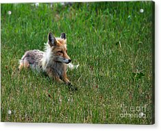 Relaxing Red Fox Acrylic Print by Robert Bales