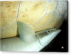 Remora Attached To Turtle Acrylic Print