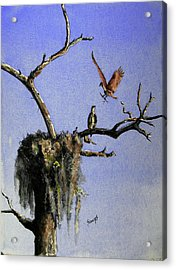 Repairing The Nest Acrylic Print by Sam Sidders