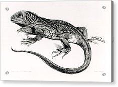 Reptile Acrylic Print by English School